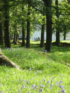 Blubells in the copse