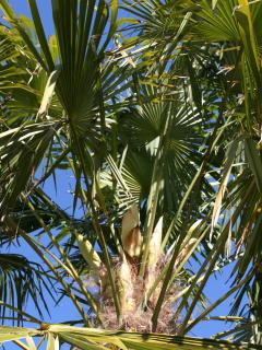 garden palm tree