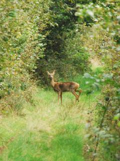 Deer posing on track