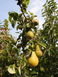 Enjoy the pear tree in late summer