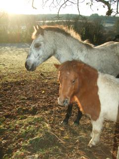 Two of our ponies at Rigal - they love to be stroked