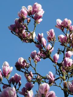 Magnolia en fleur dans notre jardin