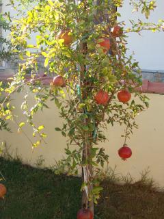 Pomegranates growing in the villa garden