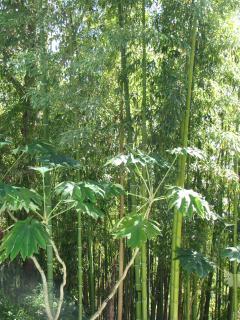 les merveilleux bamboux de la piscine