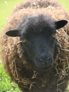 Flûte le Mouton