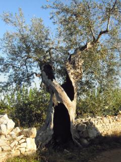 il vecchio ulivo