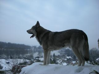 Le Loup, dayack existe, peut être aurez vous la chance de le voir  l'or de votre séjour au gîte