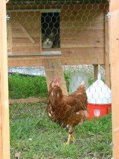 Des œufs frais et bio pour le petit - déjeuner...