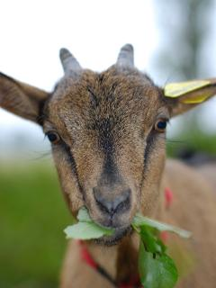 Popette, one of our 3 goats