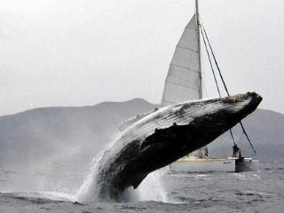 près des baleines à bosse