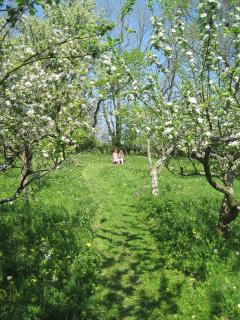 The orchard is a mass of primroses and blossom in the Spring