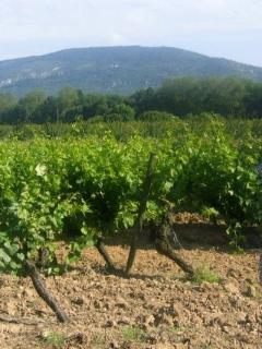 Vineyard at Millepetit overlooking the Alaric Mountains
