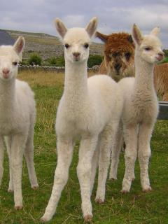 Baby Alpacas on our farm