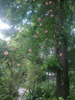 Roses hanging from the lime tree