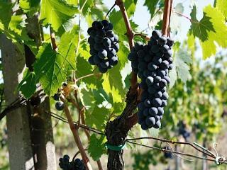 la nostra pregiata uva