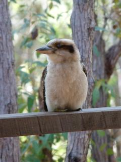 Local wildlife - Kookaburra