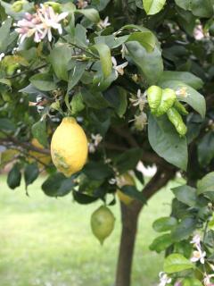 Lemon tree in garden