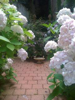 Amazing white hydrangeas frame the idyllic courtyard garden