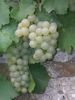 Notre vigne
