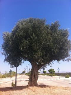 One of many olive trees on the resort - gardening is in focus on the resort