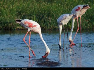 Flamingos feeding in the lagoons