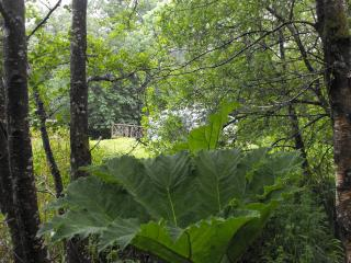 Giant rhubarb by the lake