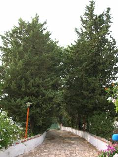 Our pine trees