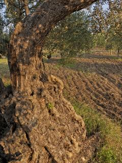 ulivo saraceno