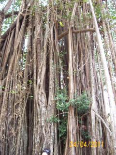 The ancient banyan tree near the temple closeby