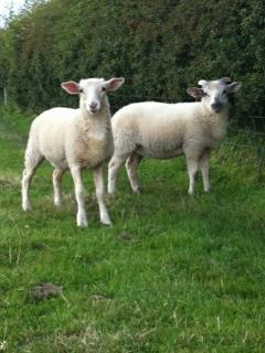 Poppy and Daisy our pet lambs !