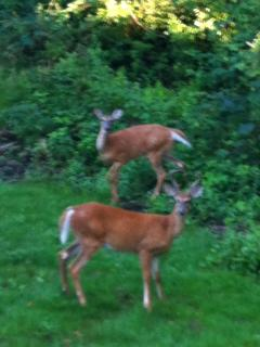 Deer behind the house