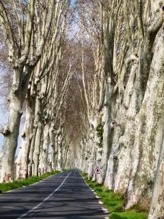Plane Trees in the Languedoc