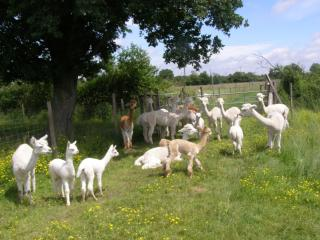 Relax on Holiday with Alpacas
