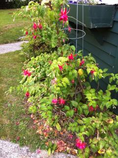 Fuchsia next to the sleep out