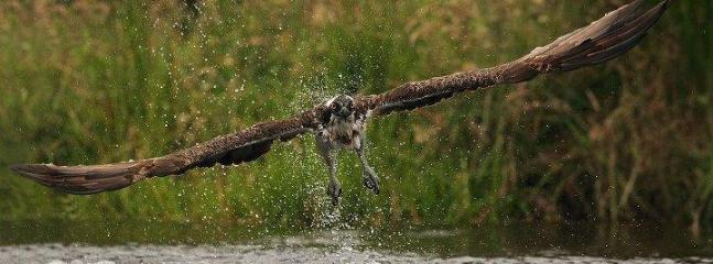The Osprey - Local to Area