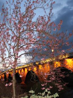 Cherry Blossom Smeaton Bridge over the Tay Perth