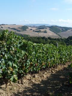 the vineyard: we produce organic sangiovese