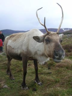 Reindeer can be found at the Highland Wildlife Park and at Cairngorm.