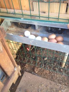 Nuevo acceso para recogida de los huevos