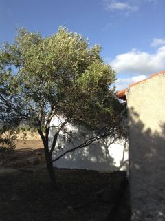 blue sky and olive tree