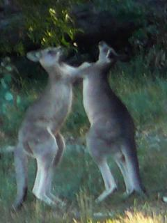 Boxing Kangaroos and native fauna.