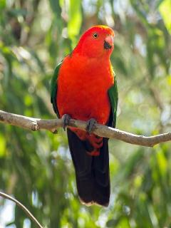 Australian King parrot and whole range of native birds frequent the yard.