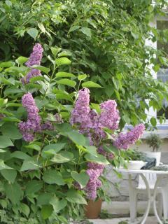 Le jardin de la Villa les Hortensias un matin de printemps