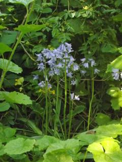 Bluebells in the copse, Summer is on it's way!