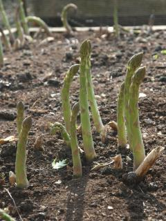 Springtime is here when the asparagus starts to come through