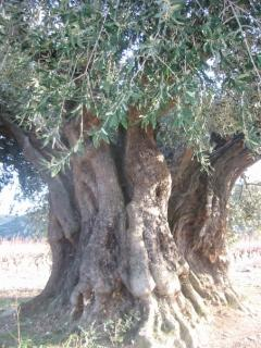 1,000 year old olive tree