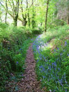 Bluebell walk in May