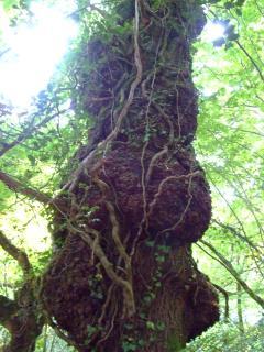 Burr Oak, a cabinet maker's dream but more beautiful left standing as a watcher of time