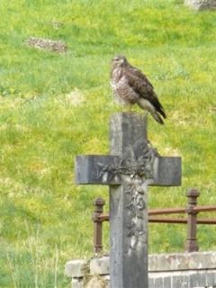 A local buzzard