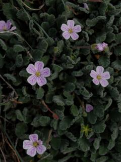 Erodium Corsicum, a small pretty herb flowering almost all the year long in sandy anfractuoisties